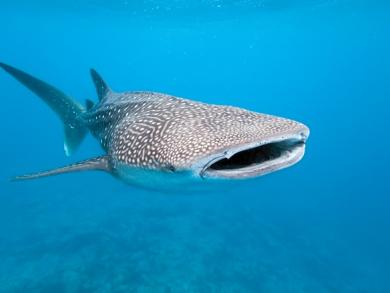 Watch: Rare whale shark spotting in Abu Dhabi