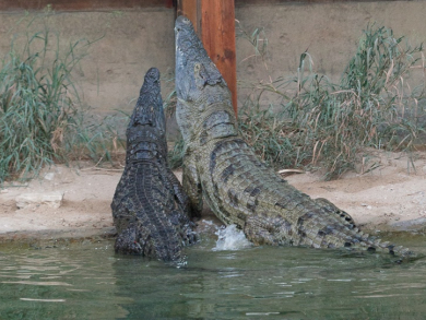 You can now feed crocodiles at Emirates Park Zoo