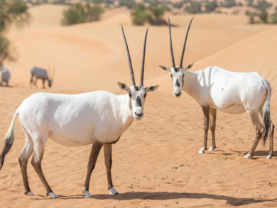 Abu Dhabi is now home to the largest herd of Arabian Oryx in the world