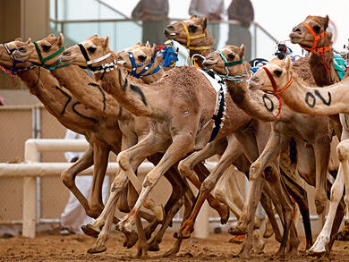 Camel Racing in UAE and Oman added to UNESCO list of intangible cultural heritage