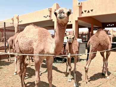 Beautiful camels to compete at Al Dhafra Festival